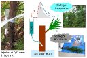 HYDRAULIC CONSTRAINTS TO WHOLE-TREE WATER USE AND RESPIRATION IN YOUNG CRYPTOMERIA TREES UNDER COMPETITION