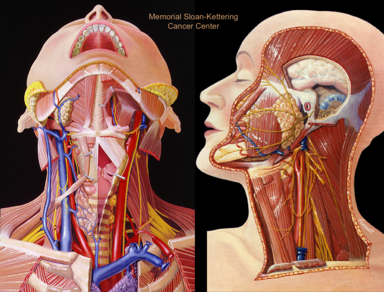 anatomy of the neck Anatomy of the neck and upper chest section 8 atlas of surface anatomy | hadzic's peripheral nerve photo, anatomy of the neck and upper chest section 8 atlas of.