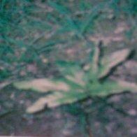 Helminthostachys