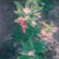 Rauwolfia serpentina