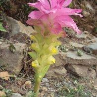 Curcuma aromatica Sarangkot pokhara