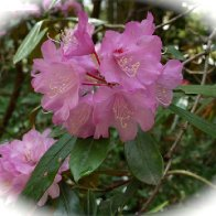 BG_April2017_Rhodo.jpg