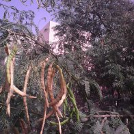 Al Ain. hanging pods from irrigated tree