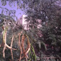 Al Ain. hanging pods from irrigated tree.jpg