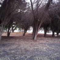 Al Ain. dying trees outside medical clinic.jpg