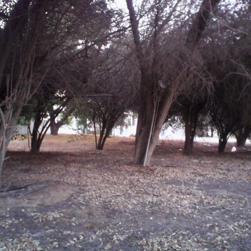 Al Ain. dying trees outside medical clinic
