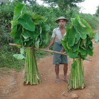 Wild Taro Research Project