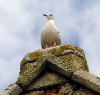 howthseagull.jpg