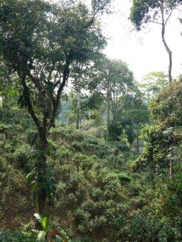 Tea_garden_Yunnan.jpg